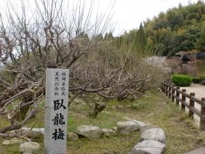 普光寺の臥龍梅の画像