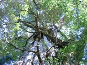 紀元杉の画像
