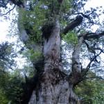 縄文杉の画像