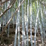 灘山ハイキングコース(左回り)入口から登った場所にある竹林の画像