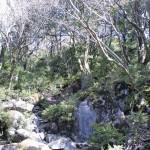 古処山山頂付近に広がるツゲの原始林の画像