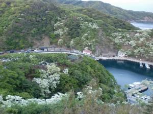 ヒトツバタゴ展望所から見下ろす鰐浦地区の漁港の画像