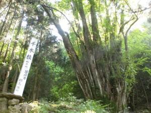 千本カツラ(千本桂:桧原山の登山口となる正平寺)の画像
