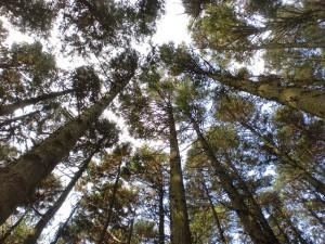 スギやヒノキの人工林を見上げたところの画像