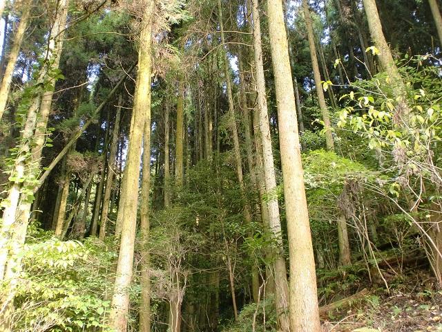 登山道に植林されているスギやヒノキの画像