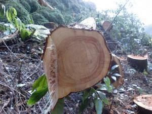 伐採したヒノキの断面の画像