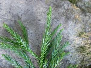 杉(スギ)の葉の画像