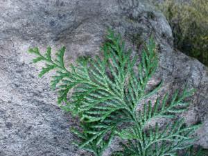 檜(ヒノキ)の葉の画像