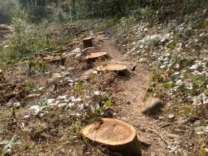 登山道の人工林の伐採跡(切株)の画像