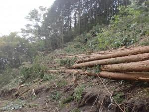 伐採して枝をつけたままにしたスギやヒノキの画像