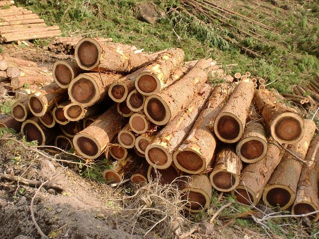 伐採して長さをそろえられたスギの画像