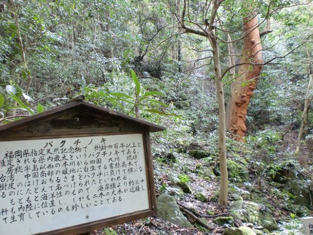 安国寺から大法山、白馬山への登山道にあるバクチノキの画像