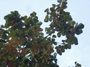 天神ショッパーズ前の柿の木の柿の実の画像