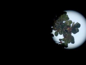 天神ショッパーズ前の柿の木の柿の実スポットの画像