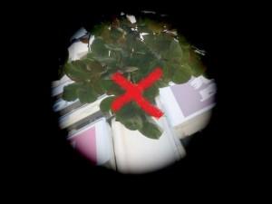 旧天神ショッパーズ前で実をつける柿(スポット)バツの画像