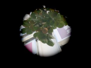 旧天神ショッパーズ前で実をつける柿の画像