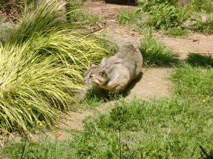野生生物保護センターのツシマヤマネコの画像