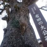 泉山口屋番所跡裏手にある大イチョウ「有田の大公孫樹」の画像
