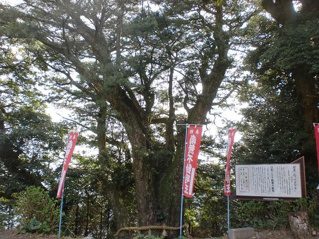 大聖寺の日本一のイヌマキの木の画像