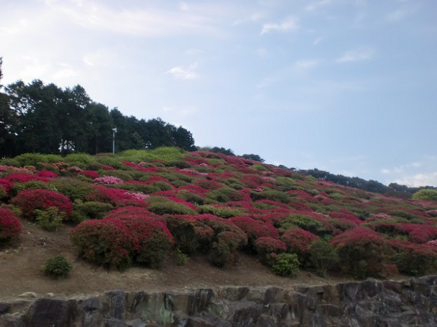 長串山つつじ公園のツツジの画像