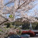 加茂ゆらりんこ橋駐車場の桜の画像