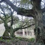 トラピスト修道院から腰岳登山口に行く途中の林道にある椎の大木と祠の画像