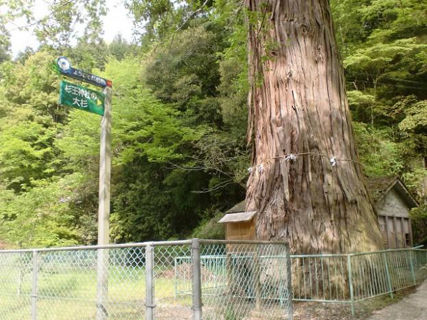 杉王神社の大杉(竜王山登山口)の画像