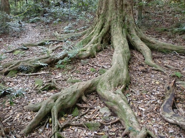 龍良山の登山口付近に広がる原生林の画像