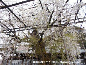 瑞龍寺のしだれ桜(愛知県豊田市稲武)