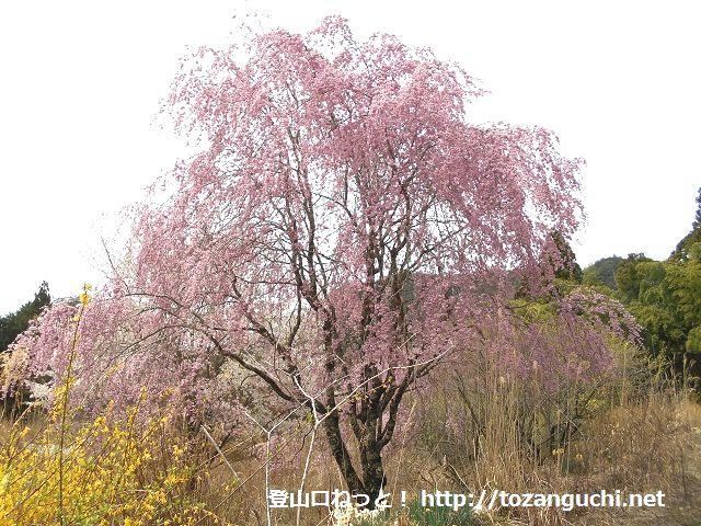 知生集落のしだれ桜(愛知県設楽町※設楽ダム予定地)