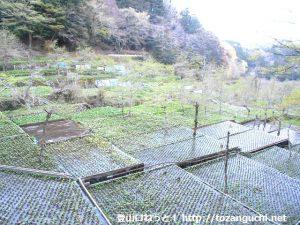 筏場のワサビ田
